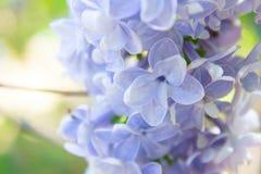 淡紫色特写镜头权利 图库摄影