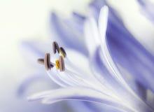 淡紫色特写镜头的花变苍白 库存图片