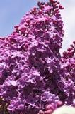 淡紫色特写镜头 免版税库存图片