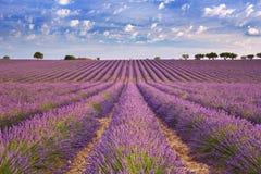 淡紫色的开花的领域在普罗旺斯,南法国 免版税库存照片