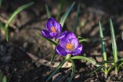 淡紫色的番红花 免版税库存图片