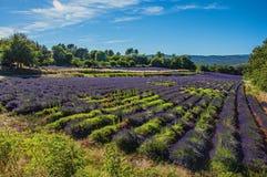 淡紫色的领域看法开花在晴朗的天空下,在鲁西永附近村庄  库存图片