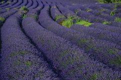 淡紫色的领域看法开花在晴朗的天空下,在鲁西永附近村庄  库存照片