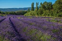 淡紫色的领域看法开花在晴朗的天空下,在鲁西永附近村庄  免版税库存照片