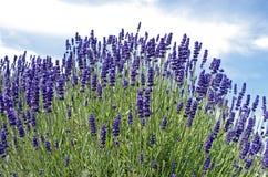 淡紫色盖了小山 免版税图库摄影