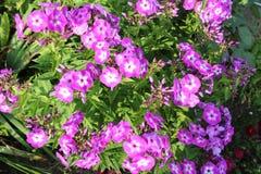 淡紫色福禄考 库存图片