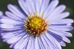 淡紫色翠菊唯一秋天花在庭院,关闭里 免版税库存图片