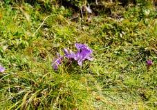 淡紫色芬芳花高在奥地利的山 库存照片