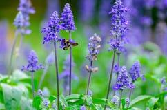 淡紫色花和蜂蜜蜂 库存图片
