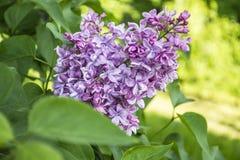 淡紫色花和绿色叶子 图库摄影