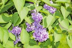 淡紫色花和绿色叶子 免版税库存图片