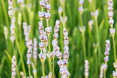 淡紫色花在夏天草甸 免版税库存照片
