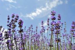 淡紫色花在夏天 免版税库存图片