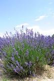 淡紫色花在夏天 免版税图库摄影