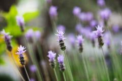 淡紫色花在庭院里 免版税库存照片