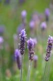 淡紫色花在开普敦,南非 库存图片