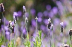 淡紫色花在开普敦,南非 免版税库存照片