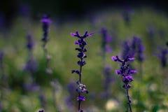 淡紫色花在泰国 库存图片