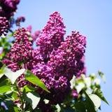 淡紫色花开花分支在蓝色背景的 减速火箭的照片 库存图片