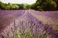 淡紫色花开花的领域 库存图片
