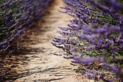 淡紫色花开花的领域 免版税库存图片