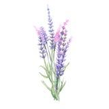 淡紫色花束 库存例证