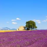 淡紫色花田、房子和结构树。 普罗旺斯 免版税库存照片