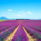 淡紫色花田。普罗旺斯法国 免版税库存照片