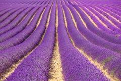 淡紫色花田模式。 普罗旺斯,法国 免版税库存照片