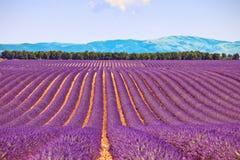 淡紫色花田结构树行。 普罗旺斯 免版税库存图片