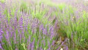 淡紫色花田