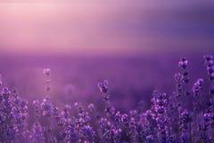 淡紫色花的大领域在日落的 库存图片