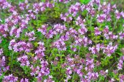 淡紫色花背景 库存图片