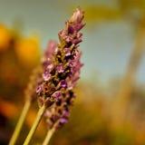 淡紫色花,与过滤器作用 免版税库存图片