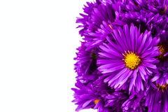 淡紫色菊花 库存照片