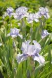 淡紫色虹膜 库存图片