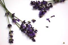 淡紫色词根在白色背景的 库存图片