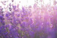 淡紫色软的焦点开花在日出光下 库存图片