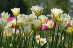 淡黄色郁金香特写镜头在春天晴天开花 免版税库存照片