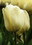 淡黄色郁金香花 库存图片