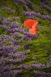 淡紫色领域和唯一鸦片在普罗旺斯,法国开花 免版税库存图片