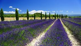 淡紫色领域和柏树 免版税库存图片
