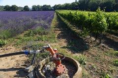 淡紫色领域和葡萄园在普罗旺斯 免版税库存图片