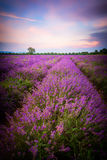 淡紫色领域在保加利亚 免版税库存照片