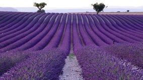 淡紫色领域在夏天在Valensole 股票录像