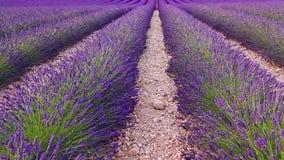 淡紫色领域在夏天在Valensole 股票视频