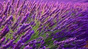 淡紫色领域在夏天在Valensole 影视素材