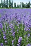 淡紫色领域在夏天 免版税图库摄影