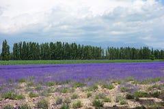 淡紫色领域在夏天 图库摄影