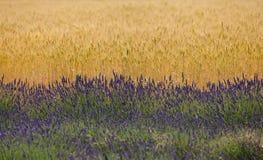 淡紫色领域在普罗旺斯 库存图片